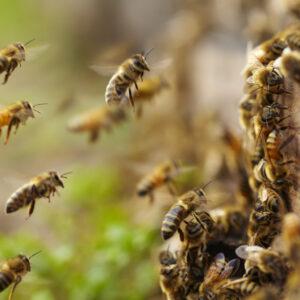 Для привлечения и поимки матки и пчелиных роёв