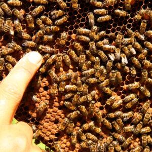 Для стимуляции и развития пчелосемей