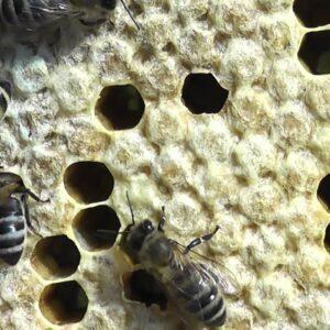 Против гнильцовых болезней пчёл